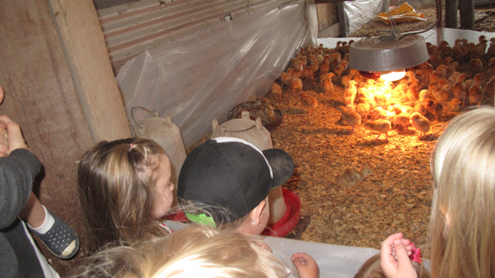 The kids loved seeing all of the baby chicks.  YWF gets up to 200 new chicks every 2 weeks!